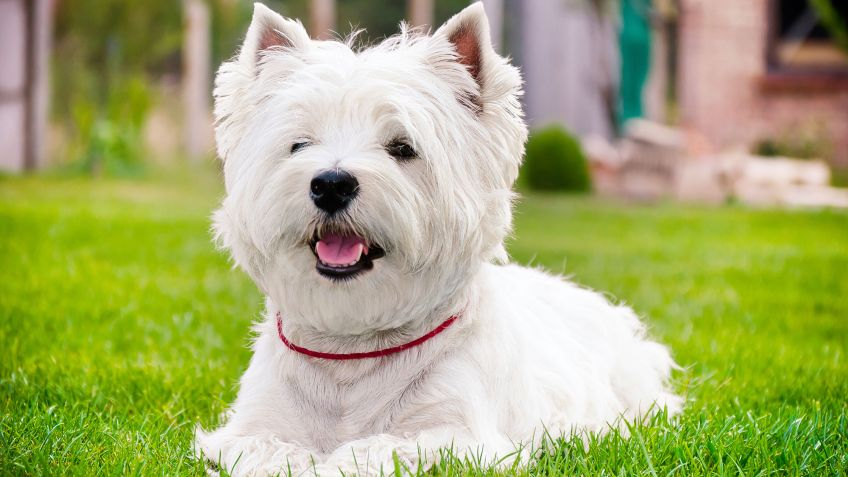 West Highland White Terrier (Westie) - Cariñoso