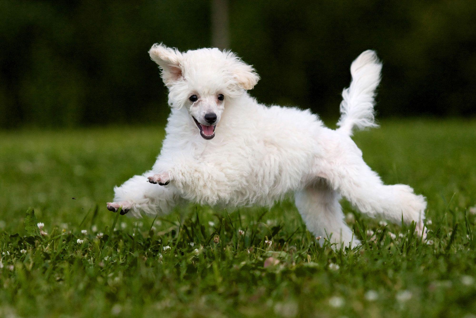 razas perros caniche