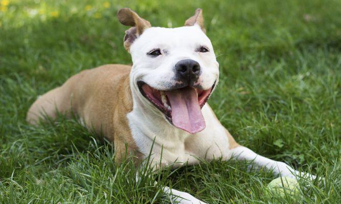 Pitbull Raza De Perro Mascotas Hogarmania
