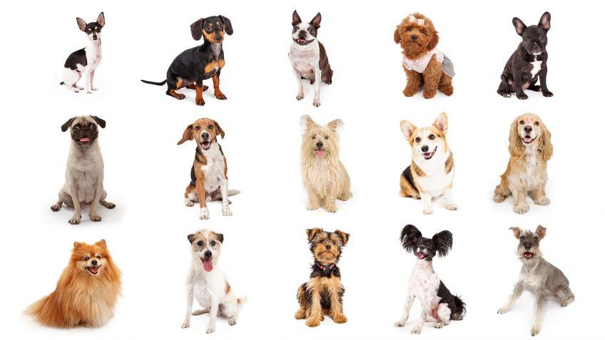 15 Razas De Perros Pequeños Hogarmania