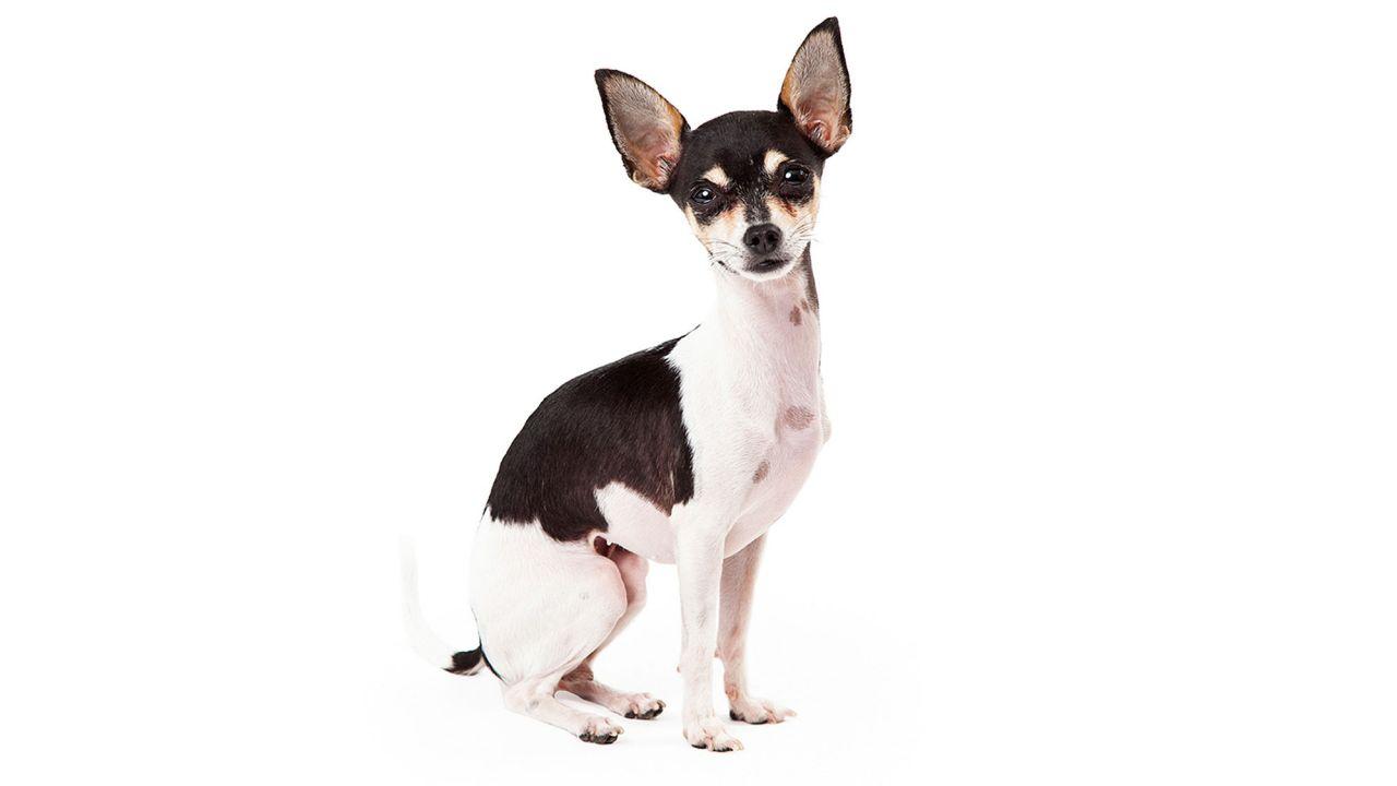 15 Razas De Perros Pequeños Chihuahua