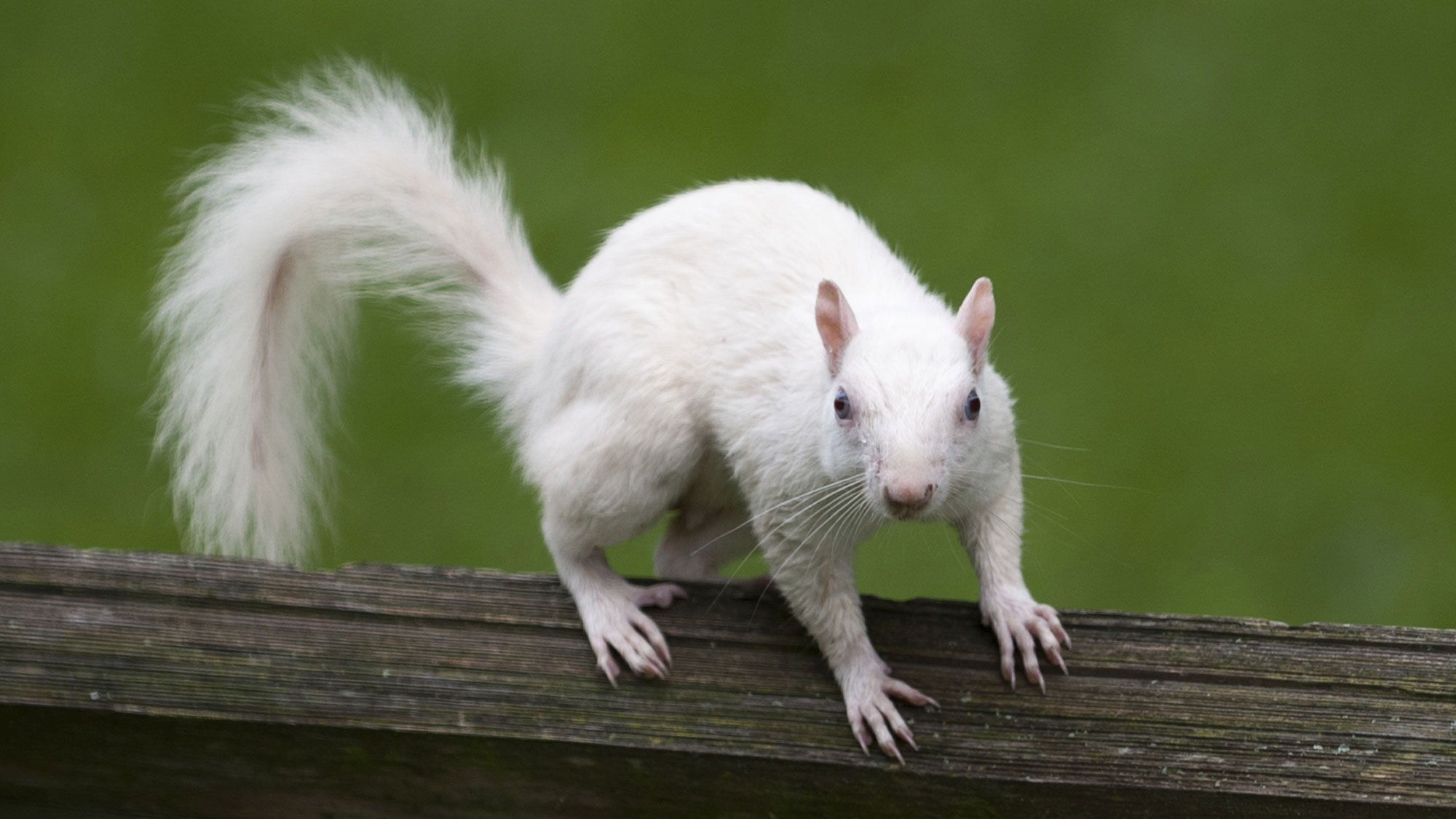 animales albinos - ardilla