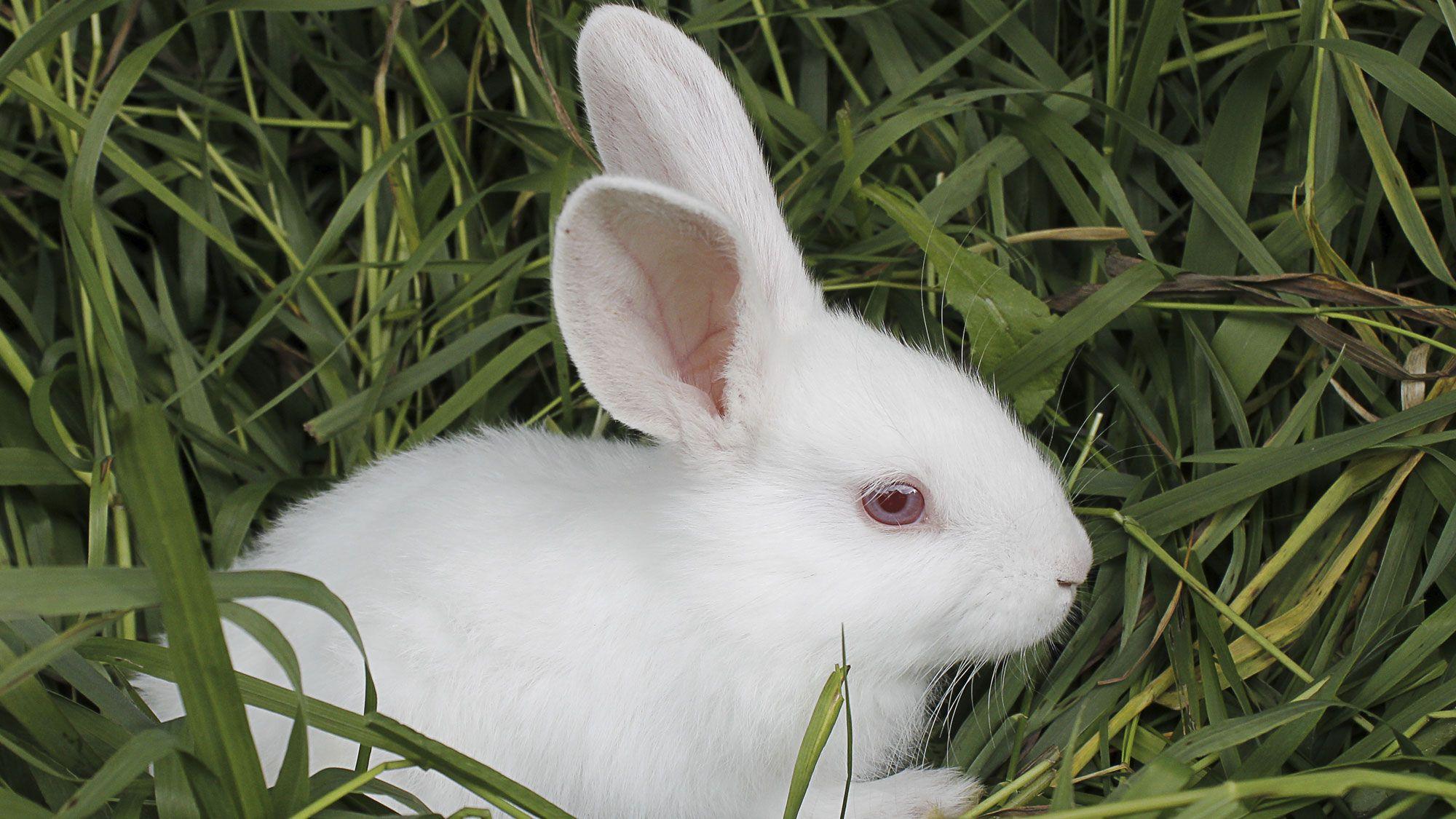 animales albinos - conejo