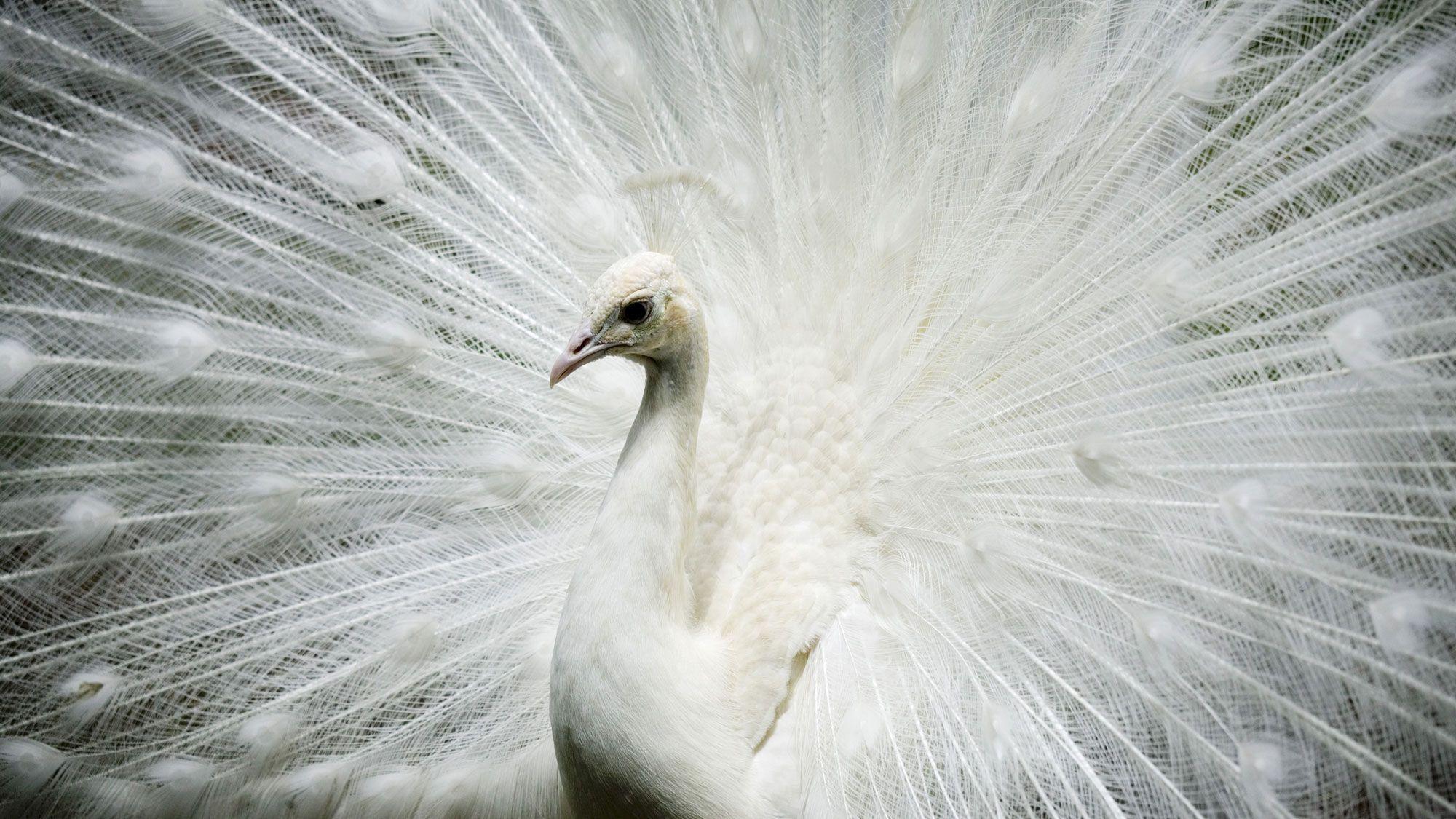 animales albinos - pavo real