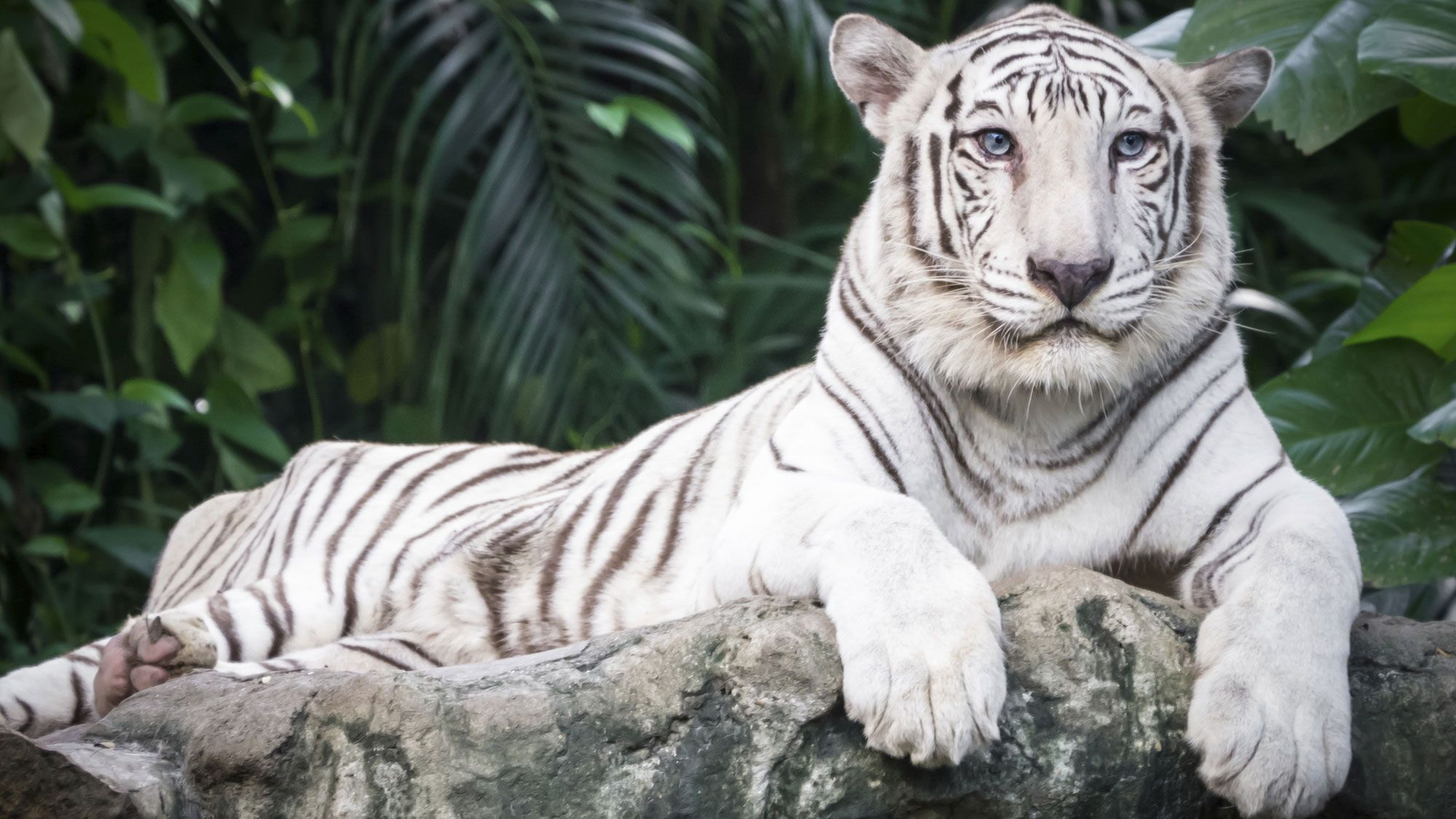 animales albinos - tigre