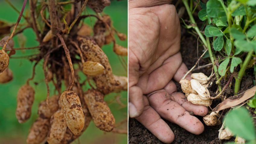La Planta Del Cacahuete Bricomanía