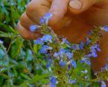 Composición floral con salvias