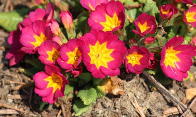 Pr mula obc nica cuidados plantas jardiner a hogarmania - Hogarmania jardineria ...