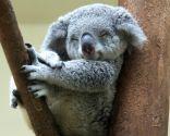 animales perezosos - koala