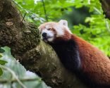animales perezosos - oso panda