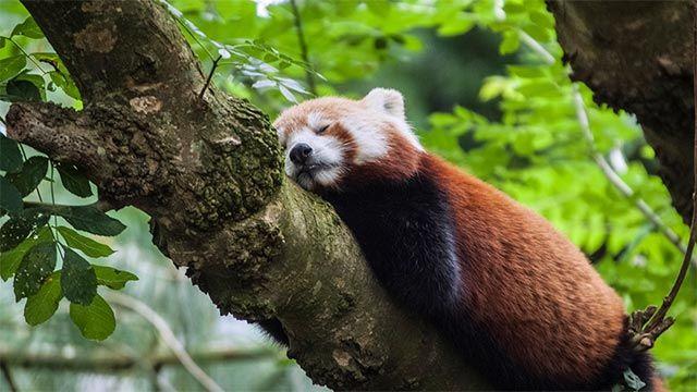 Panda rojo durmiendo