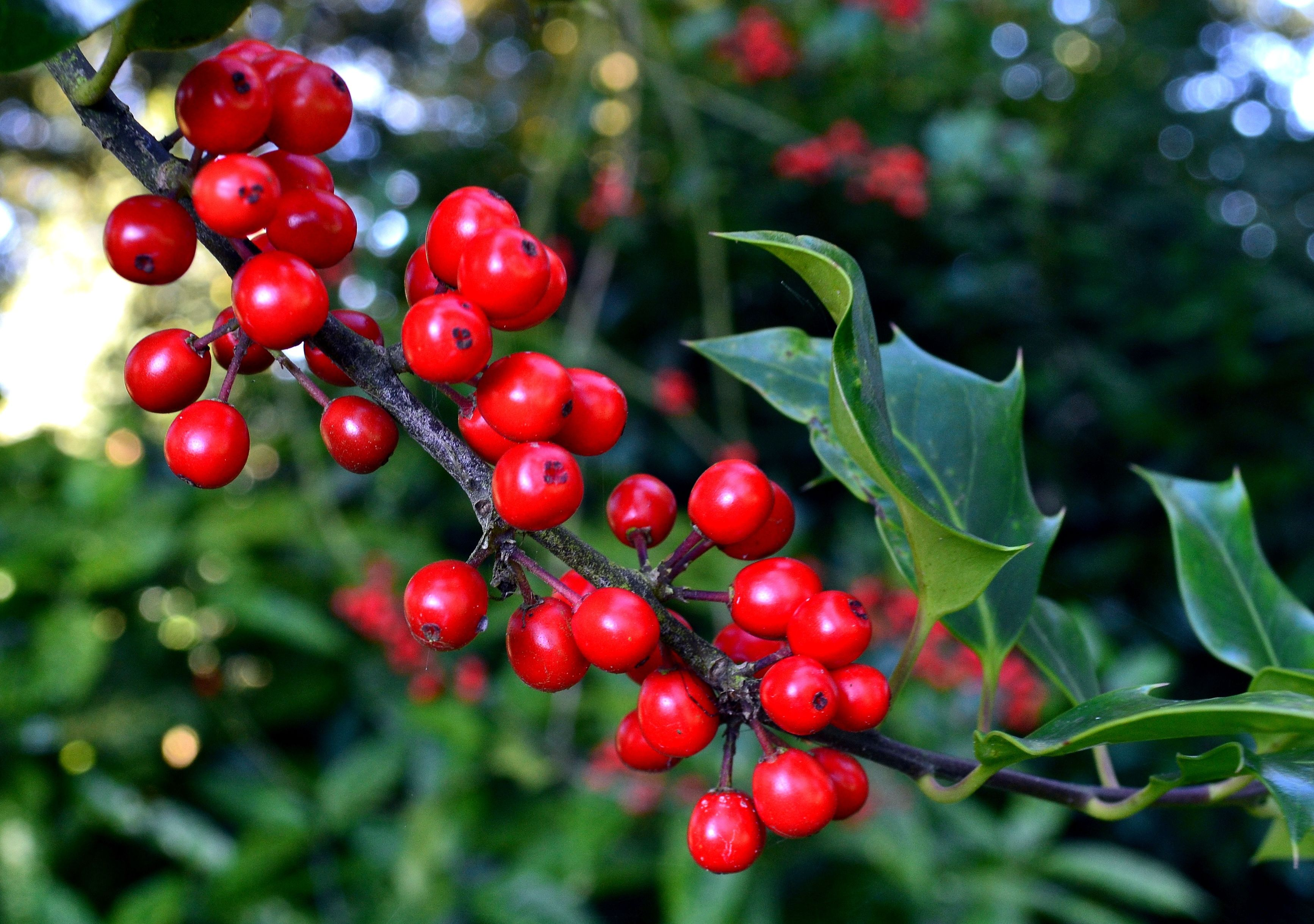 arbustos que florecen en inverno - acebo