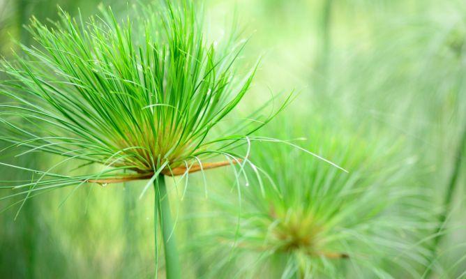 La planta del papiro - Bricomanía
