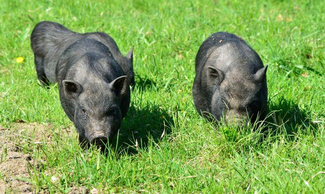 Cómo son los cerdos vietnamitas - Decogarden