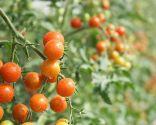 temas jardín 2016 - tomates cherry