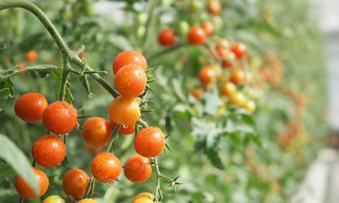 Consejos para cultivar tomates cherry hogarmania - Tomates cherry en maceta ...