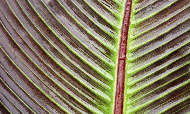Falso banano rojo ensete ventricosum maurelii cuidados for Banano de jardin