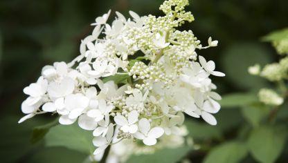 Cuidados de la hortensia hogarmania - Como podar la hortensia ...