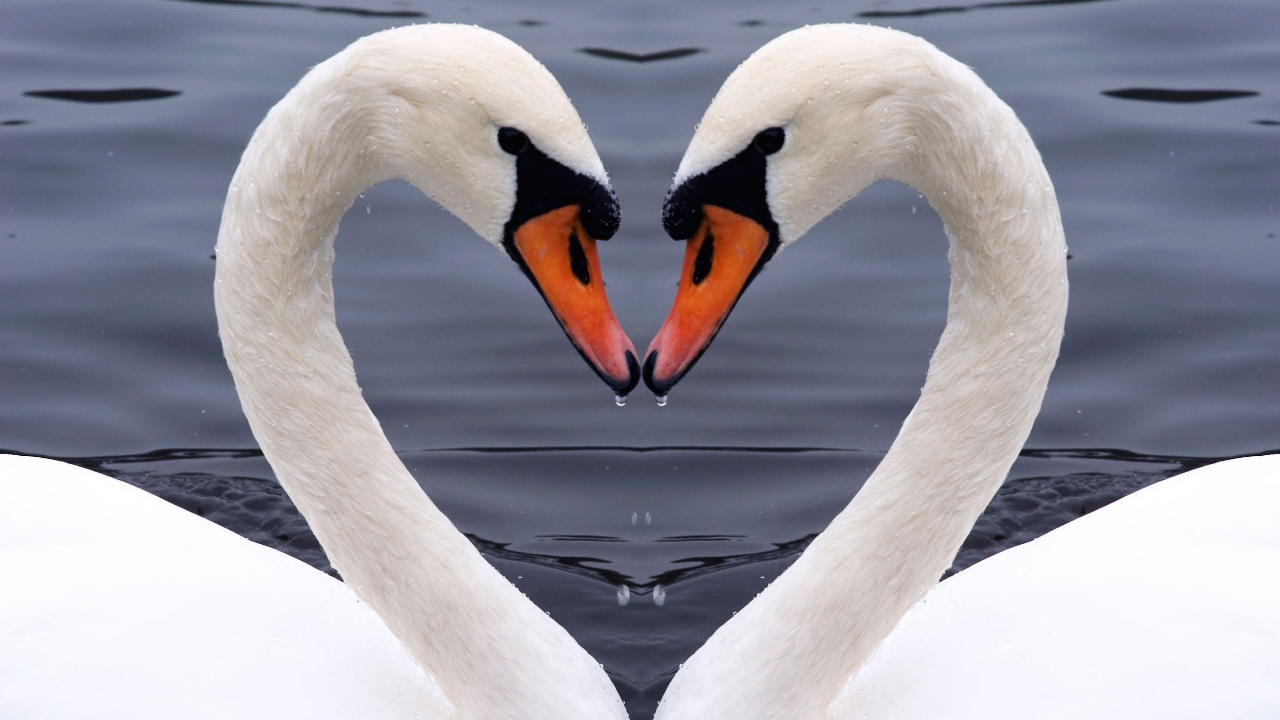 animales fieles - cisnes