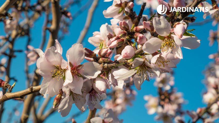 Floración preciosa del almendro