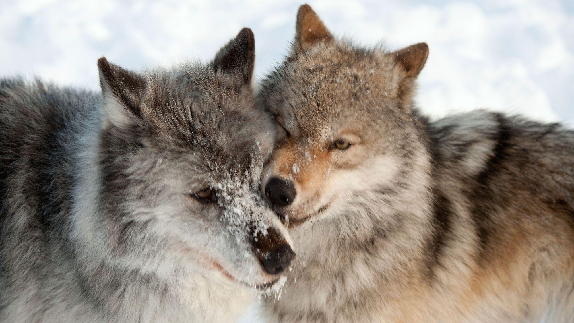 animales fieles - lobos