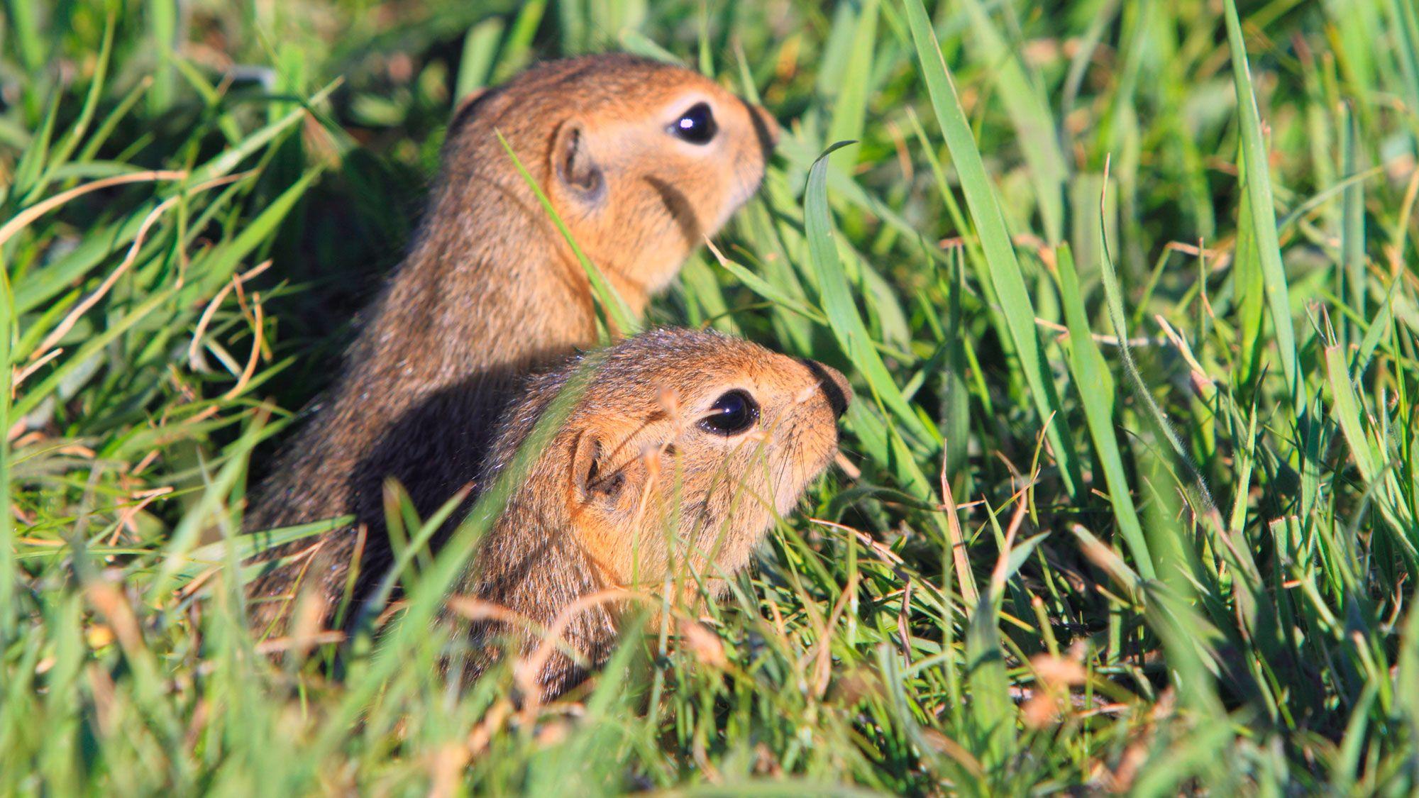 ratones de la pradera