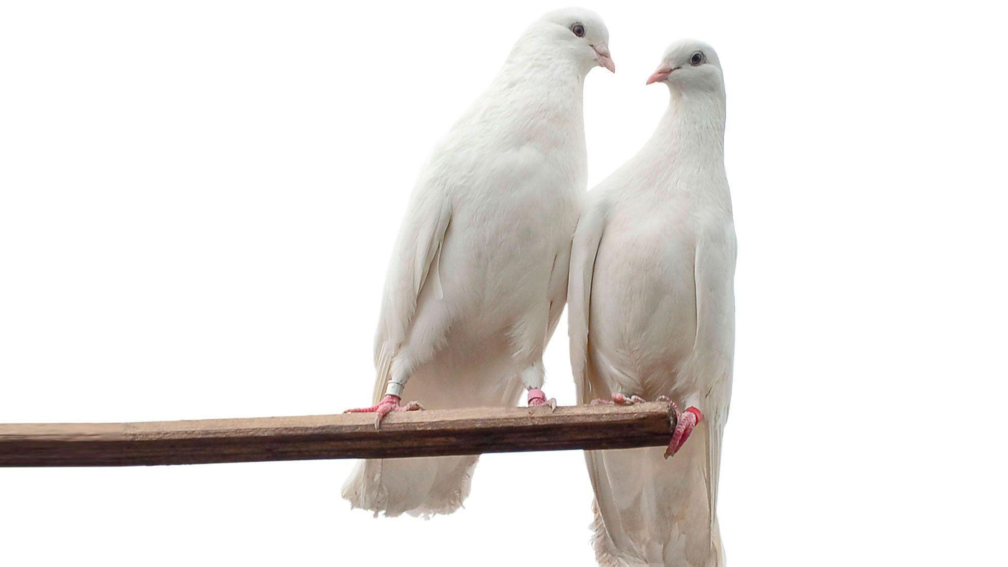 animales fieles - tórtolas