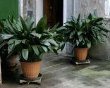 Plantas de interior que necesitan poca luz - Aspidistra