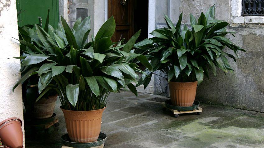 Aspidistra - ficha de planta - jardinería - Hogarmania
