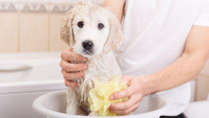 C mo limpiar las orejas al perro hogarmania - Como banar a un perro ...