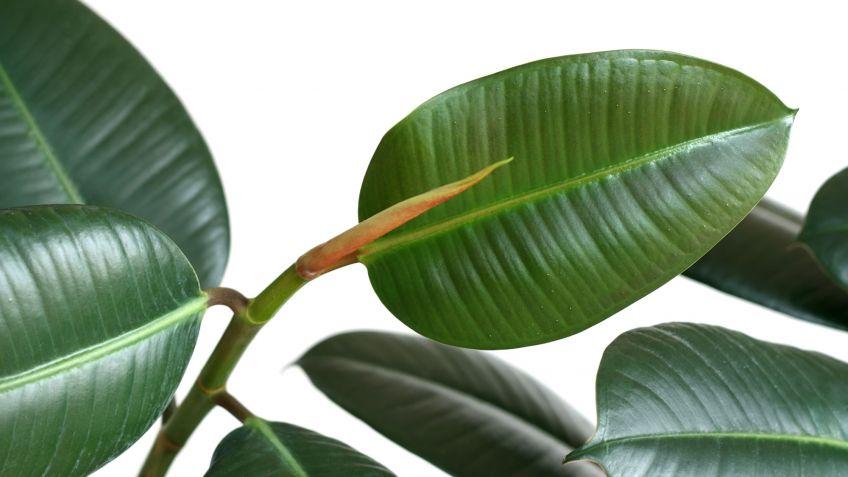 Ficus Robusta Ficus Elástica Cuidados Plantas Jardineria