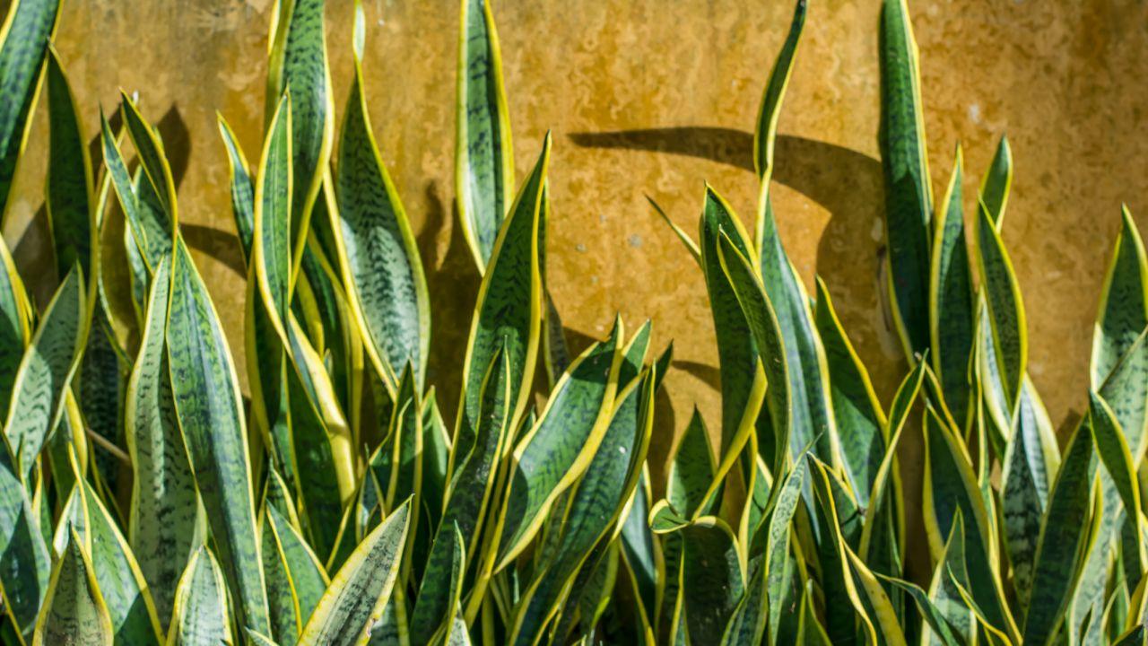 hojas planta lengua de tigre