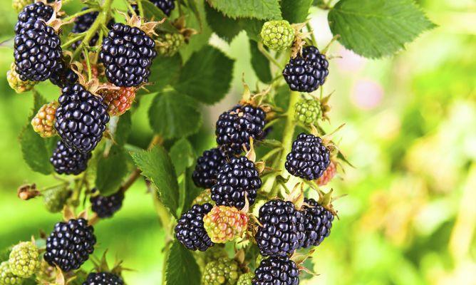 Zarzamora rubus fruticosus cuidados plantas - Hogarmania jardineria ...