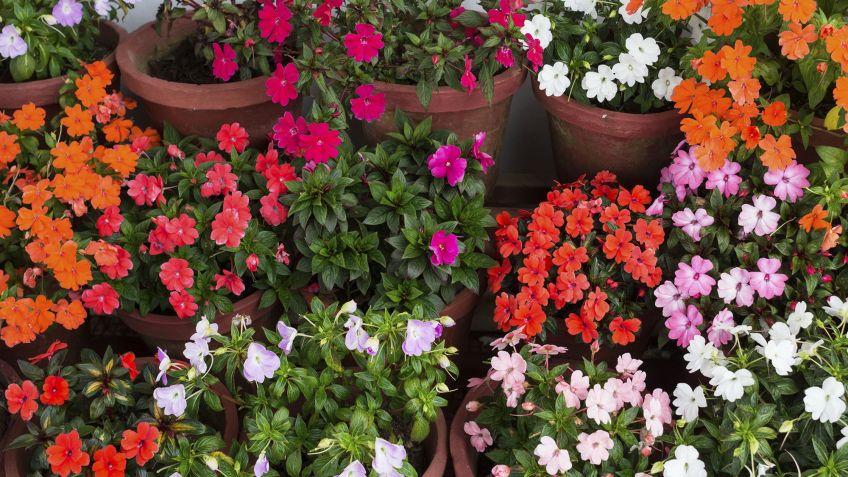 Alegr a de la casa impatiens wallerana fichas de jardiner a jardineria hogarmania - Alegria planta cuidados ...