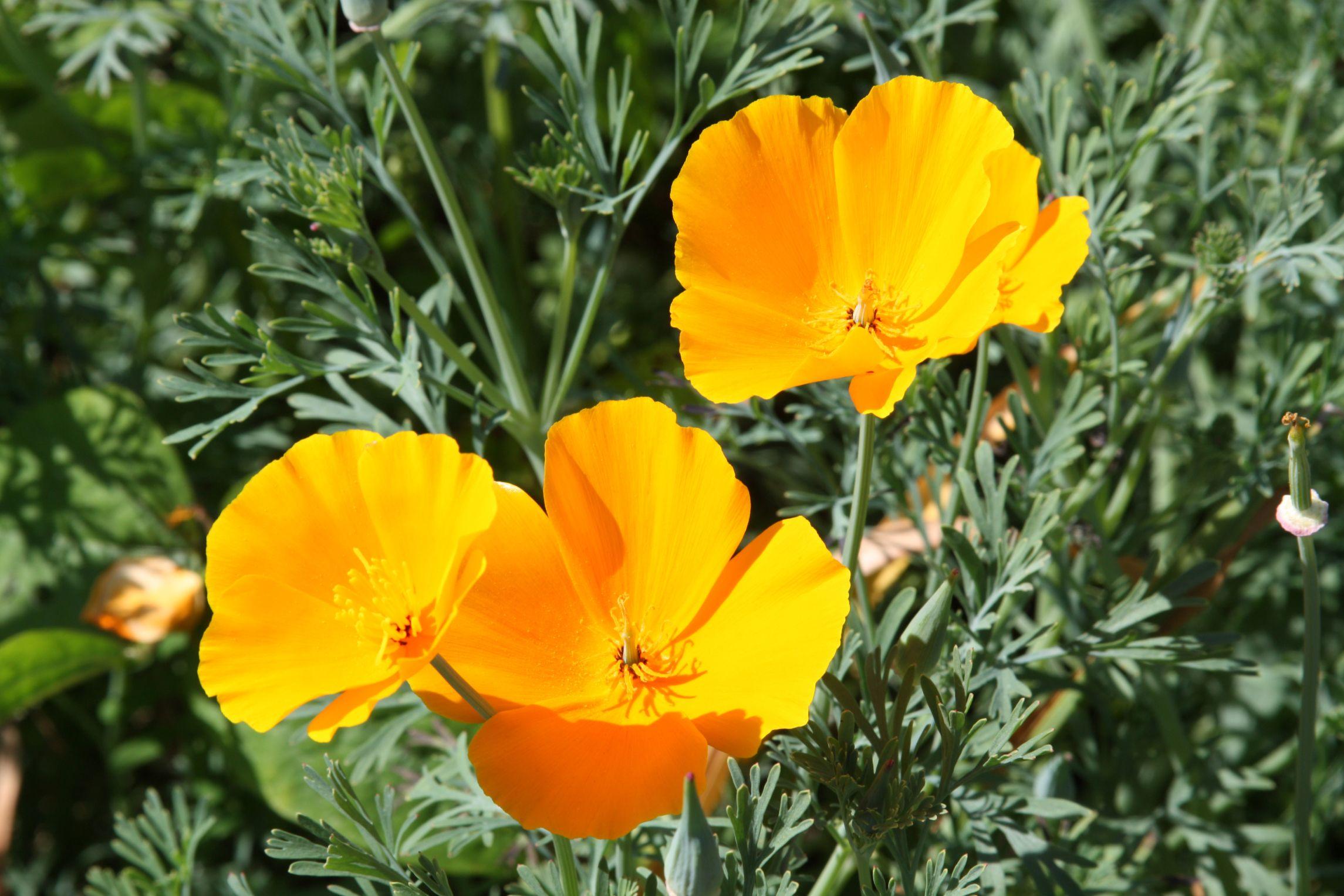 plantas contra el insomnio - amapola de california