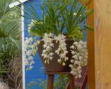 Diferencias entre orquídeas colgantes y aéreas