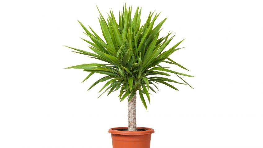 Yuca Planta De Interior Decogarden