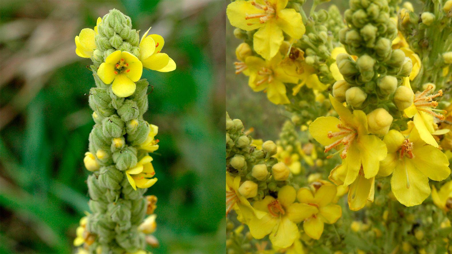plantas alergias primavera - gordolobo