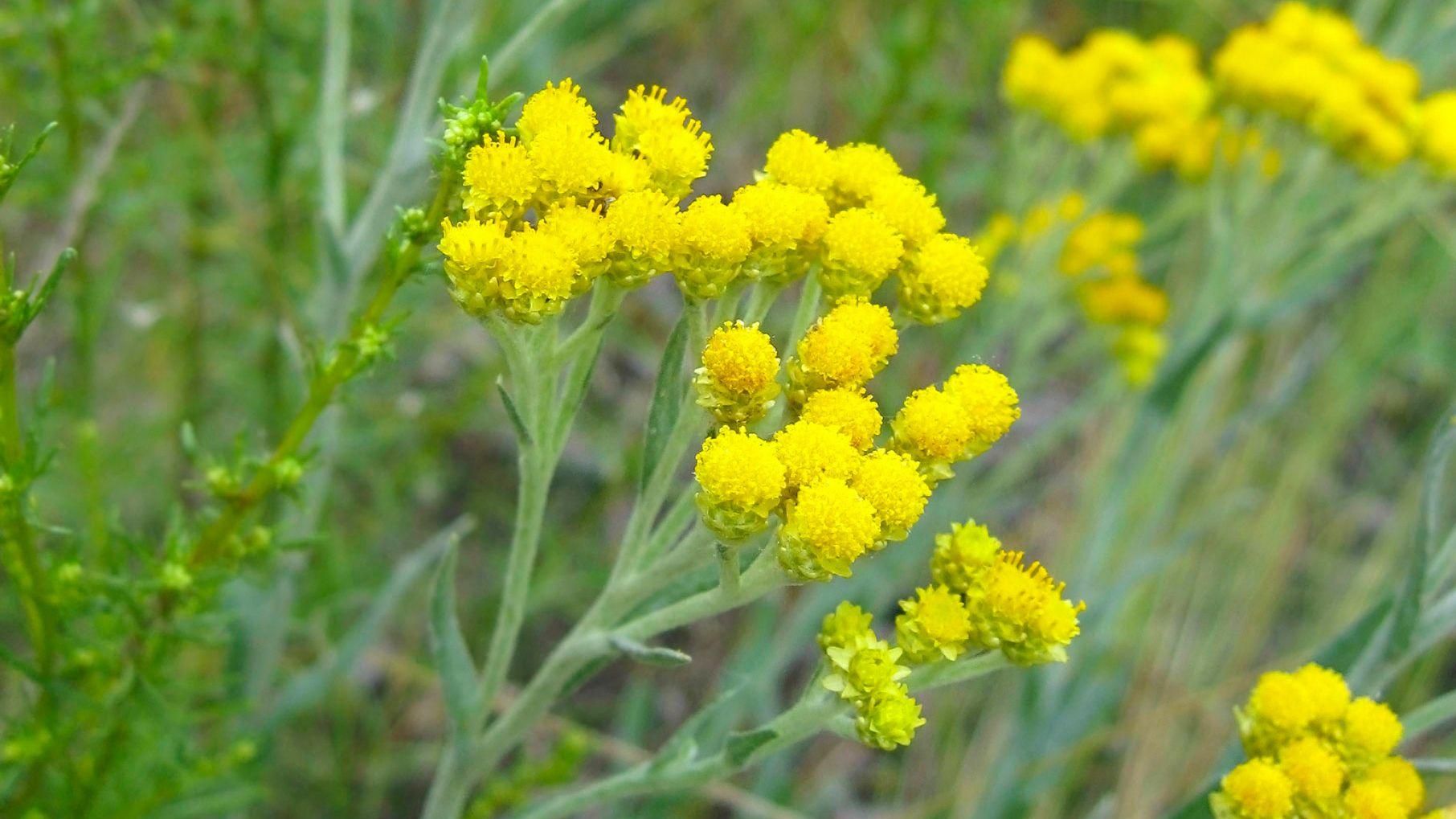 plantas alergias primavera - perpetua