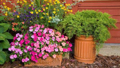 Alegr a guineana impatiens hawkeri cuidados plantas - Planta alegria de la casa ...