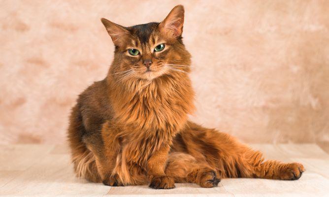 gato Somalí