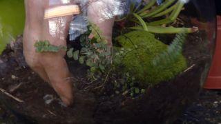 Plantar plantas carnívoras en peceras - Paso 3