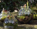Plantar plantas carnívoras en peceras
