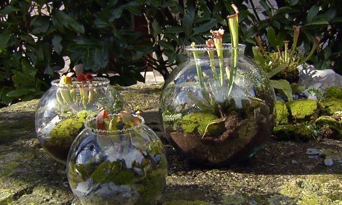 Plantar plantas carn voras en peceras bricoman a for Peceras de jardin
