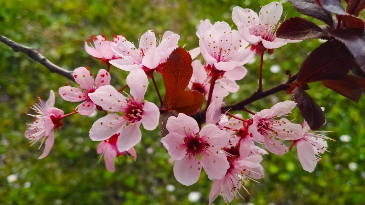 Arbol De Cerezo Japones cerezos enanos, ¿cómo cultivarlos en maceta? - hogarmania