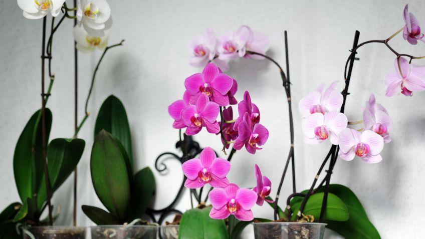 Cuidados De Las Phalaenopsis Decogarden - Orquideas-blancas-cuidados