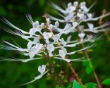 plantas perder peso - ortosifón
