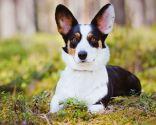 Raza perro galés - Corgi de Cardigan