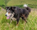 perro pastor galés
