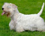 Perro Sealyham Terrier